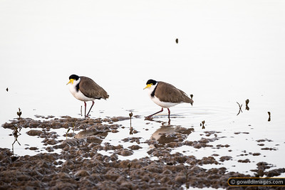Lapwing Couple