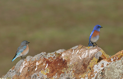 Bluebirds on Fairmont Ridge.