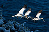 Three gannetts come in for a landing at Cape St Mary's Ecological reserve NF