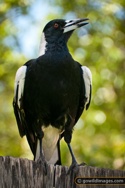 Victorian magpie, adult male