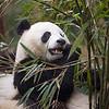 """Panda, Chengdu """"China"""" 2012"""