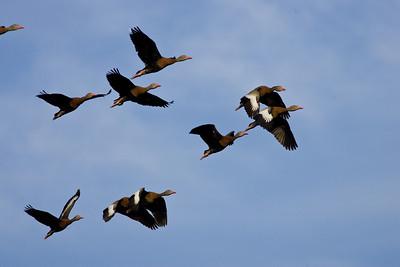 Flock of black bellied whistling ducks (thank you Audubon lady)