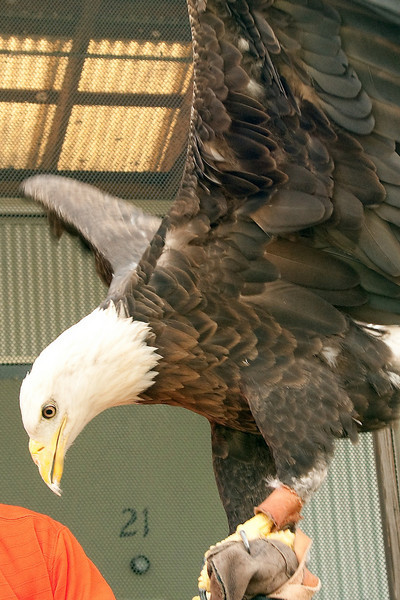 This is Spirit, one of the permanent residents of the Raptor Center at Auburn University.