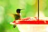 Male Ruby-throated Hummingbird at Feeder, Dane County, Wisconsin