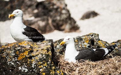 Black backs nesting at foot of Mount Maunganui.