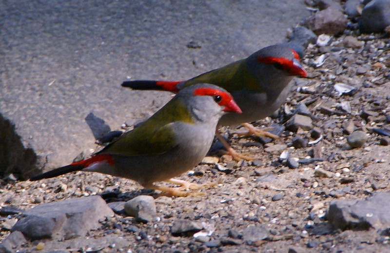 A pair of Red-browed finches (Neochmia temporalis)