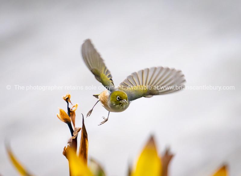 Waxeye in  flight