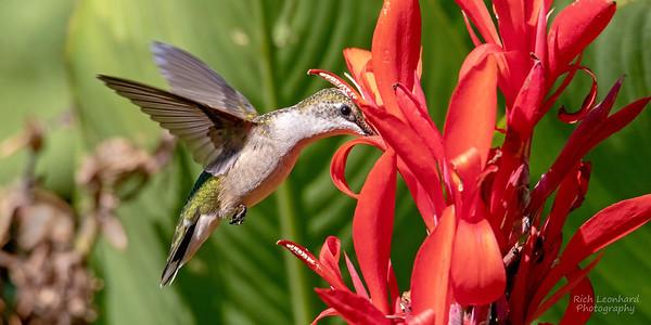 Hummingbird feeding from flower on Long Island, NY.