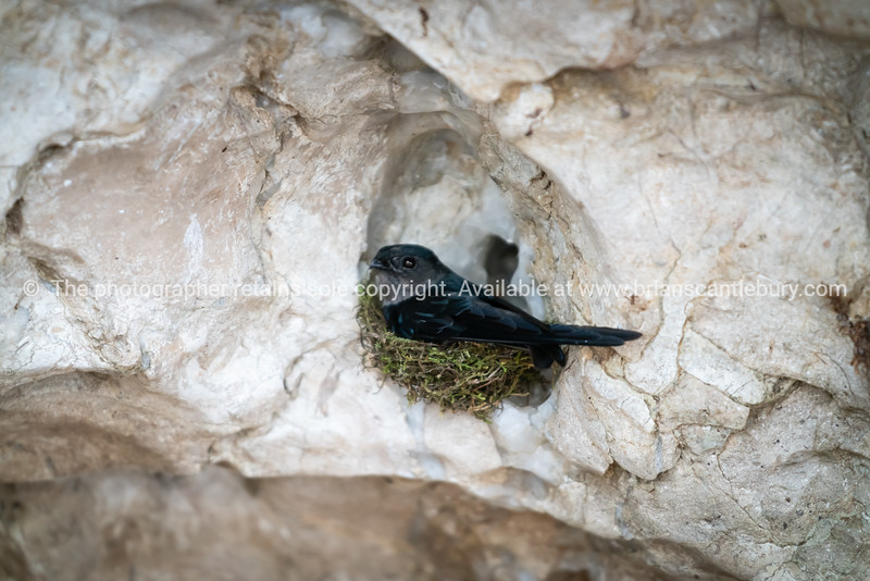 Nesting colony Pacific swallows