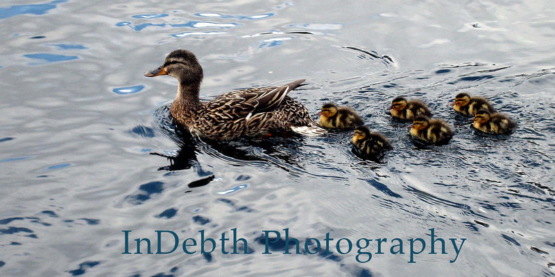 0466 duck and brood 9X4