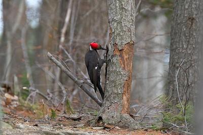 Pileated woodpecker - Hylatomus (Dryocopus) pileatus, female.