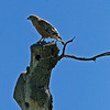 Coopers Hawk on a old snag.