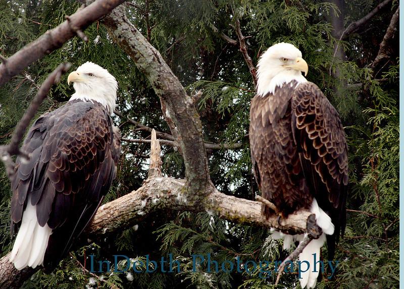 0861 Toledo Bird 5X7