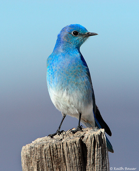Mountain Bluebird - Maxwell National Wildlife Refuge