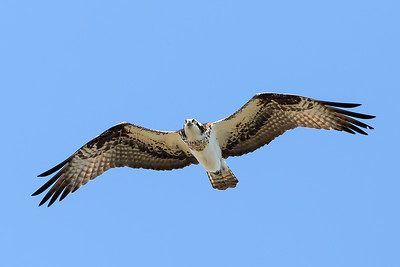Osprey - Unique among North American raptors for its diet of live fish and ability to dive into water to catch them.