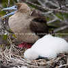 Red footed booby caring for young.