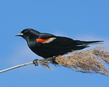 Red wing Blackbird.