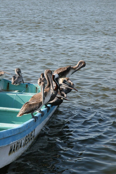 Pelicans take a break