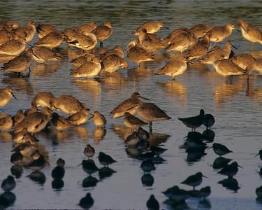 Mixed flock feeding at first light