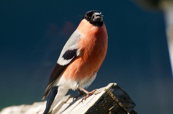 Fuglar på fuglabrettet: Dompapp hanfugl
