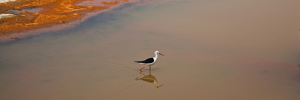 Black winged stilt, Dubai