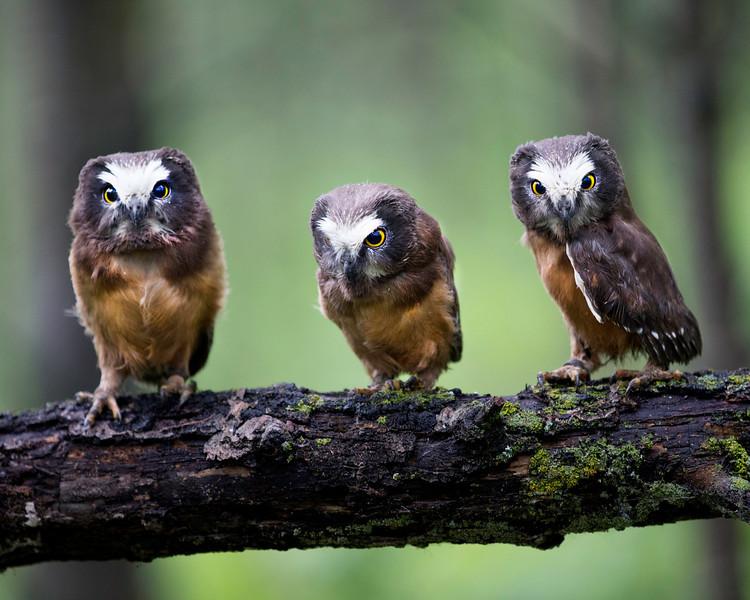 Saw Whet Owlets
