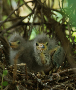 Green heron chicks in the nest.