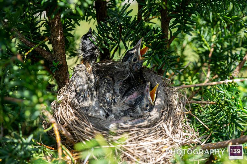 Baby Robins
