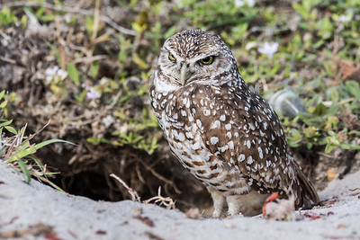 This tiny little Burrowing Owl was keeping watch outside of her home with an attitude at least 50 time its size