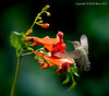 Female Black Chinned Hummingbird - Trumpet Vine
