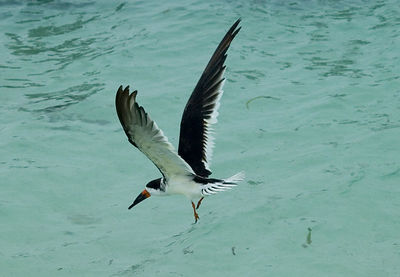 Black Skimmer at Dry Tortugas