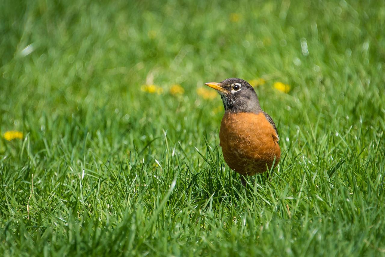 Robin at Wilson Farm Park - April 2013