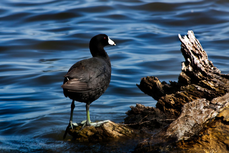 american coot_IMG_9410