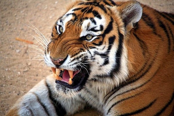 """Angry Tiger. Canon EOS 5D + Canon 400mm f/5.6L """" Thailand"""""""