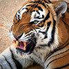 "Angry Tiger. Canon EOS 5D + Canon 400mm f/5.6L "" Thailand"""