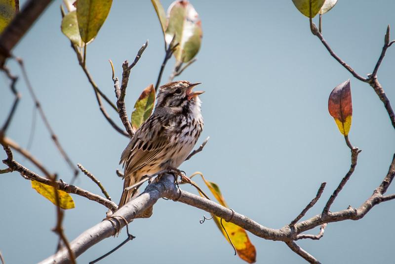 Song Sparrow at Wilson Farm Park - April 2013