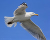 Seagull flying over Captree State Park,NY.