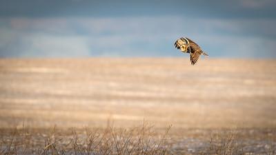 short eared owl in flight -0271