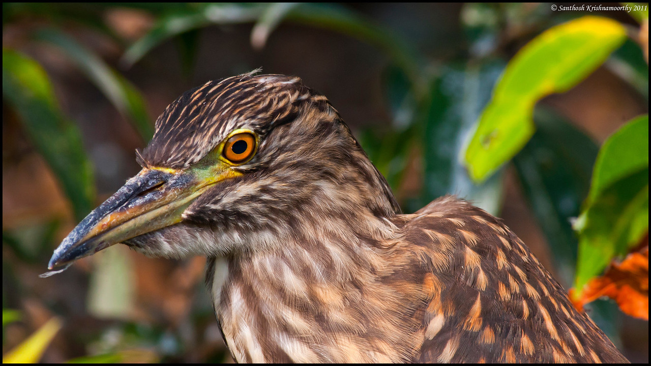 Pond Heron, a close up....