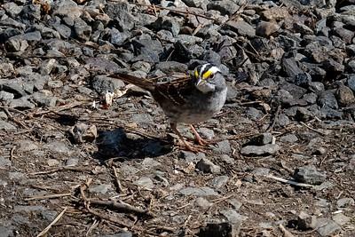 White-throated Sparrow - Zonotrichia albicollis, adult.