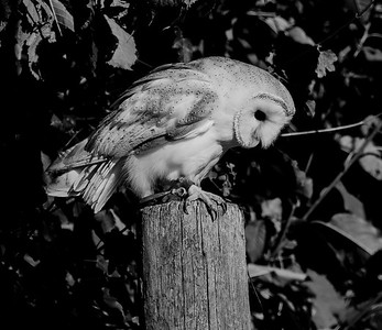 Owl in black and white