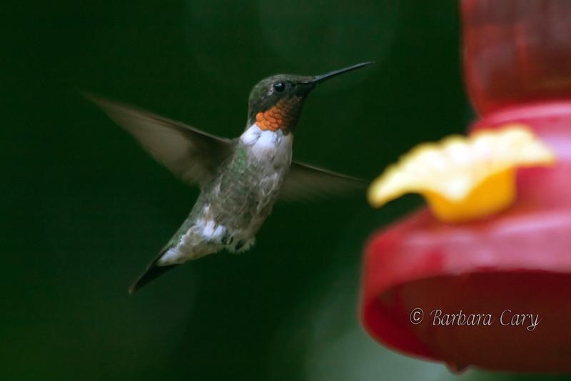 hummingbird_IMG_0074_1584