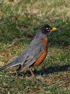 American Robin (Turdus migratorius).