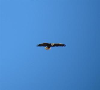P00125_IMG_3897_Bald_Eagle_c