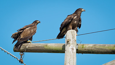 2 juvenile eagles on hi tension towers 7110237-