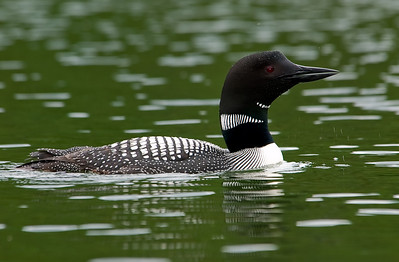 Common loon Gavia immer