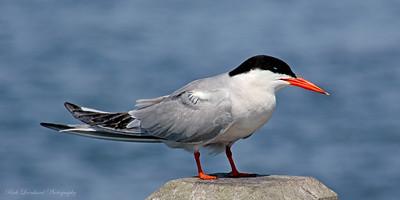 Tern at Robert Moses State Park.