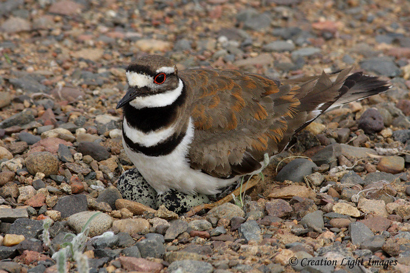 Kildeer On Eggs