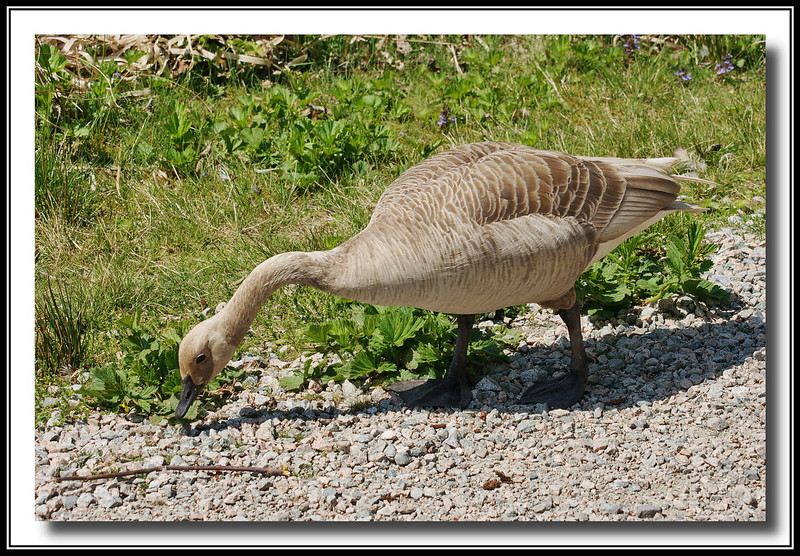 Canada Goose with colour variant. (w/ Bigma)