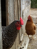 Chickens at Troyer's Country Amish Blatz, Fairview NC  (see troyerscountryamishblatz.com )